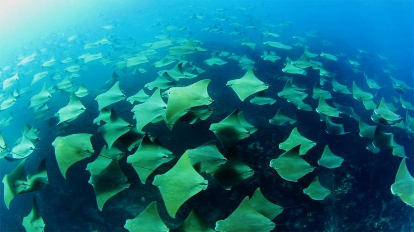 stingrays-family-high-res-pics-720P-wallpaper